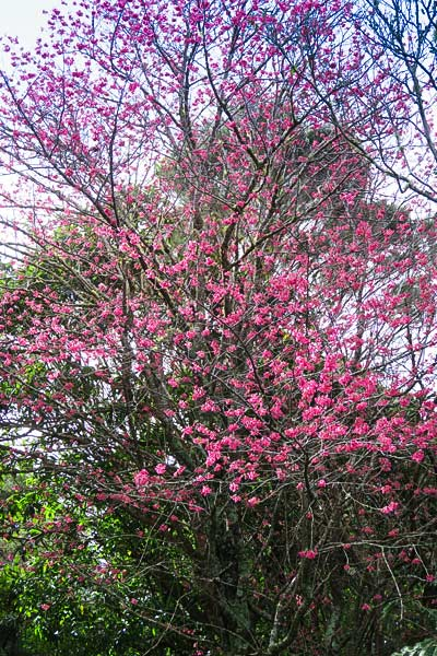 Taiwaneese Cherry Blossom Trees are blooming all over Northland.